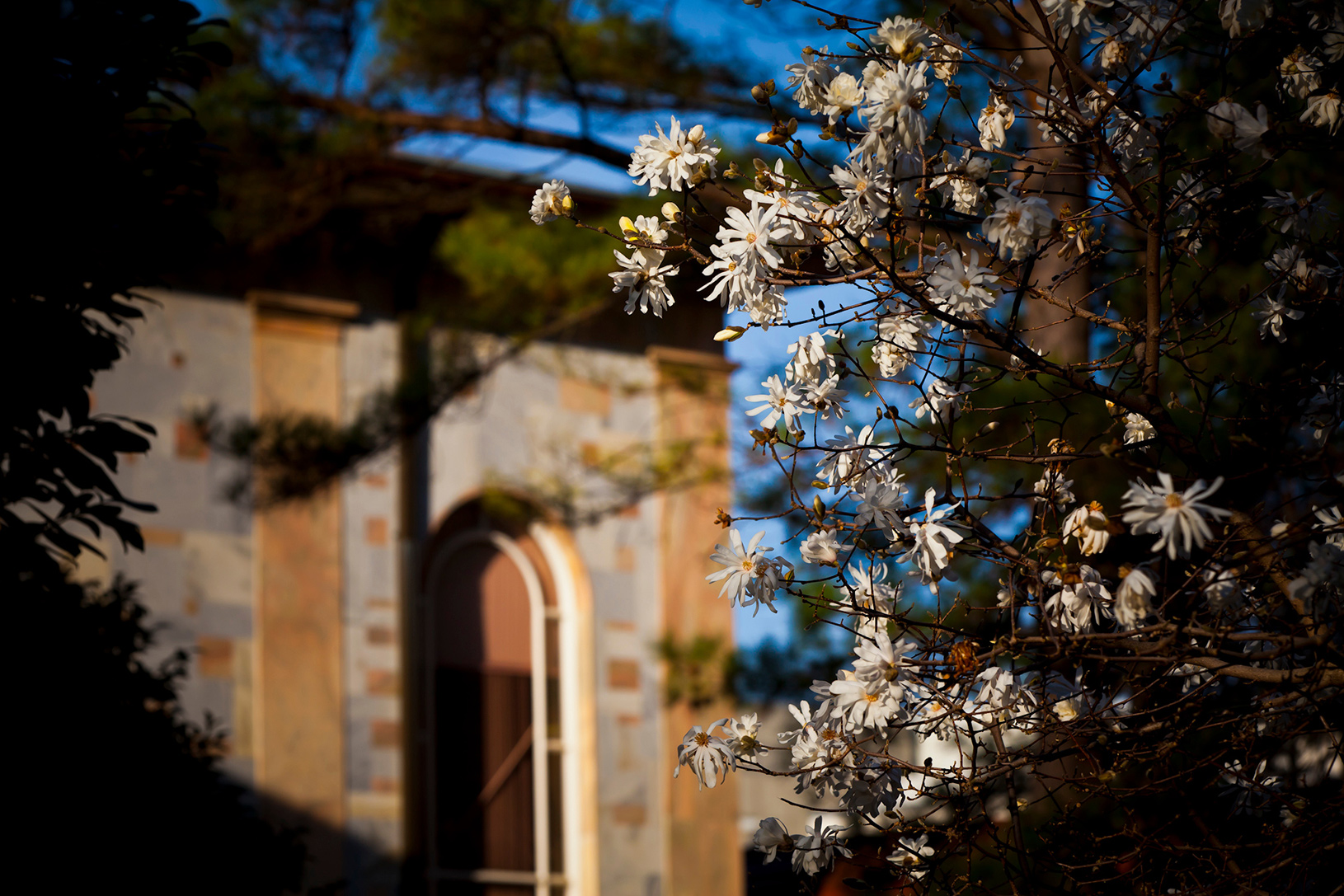 flowering tree in foreground of Convocation Hall on Emory's Atlanta campus