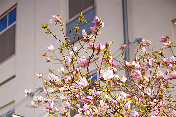 pink blooming dogwood tree in front of Emory campus building